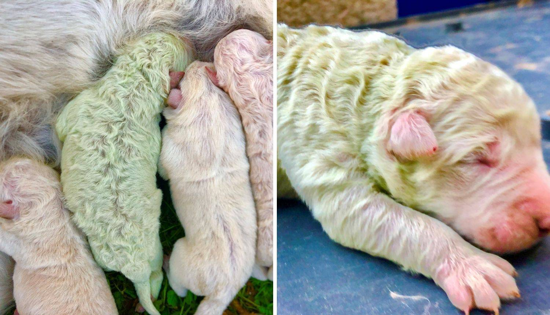 U Italiji se rodio preslatki psić zelene boje: Nazvan je Pistachio