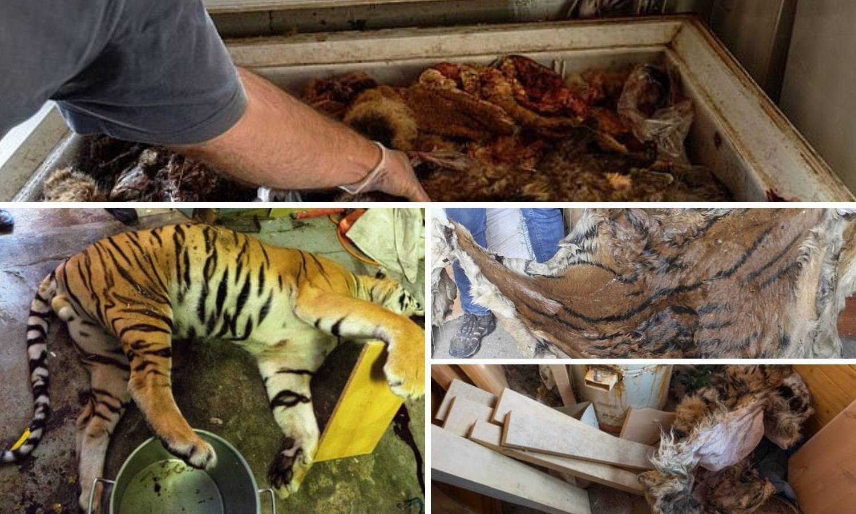 Šokantne fotografije: Otkrivena ilegalna farma tigrova u Češkoj