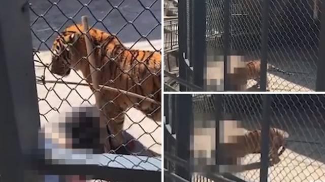 Bespomoćan u kavezu: Tigar je do smrti izgrizao svog trenera