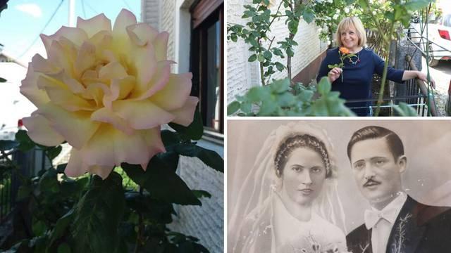 Čudo života: Sanjina ruža koja mami mirisom ima 81 ljeto...