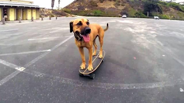 Ne da mu se pješke: Pas obalu obilazi na svom - skateboardu