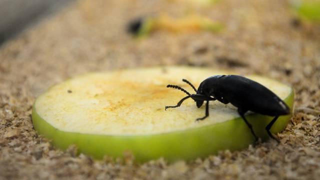 Najezda insekata: Uz stjenice sve je više crnih žohara i buha