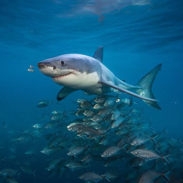 Evo zašto nitko nije 'ukrotio' velikog bijelog morskog psa