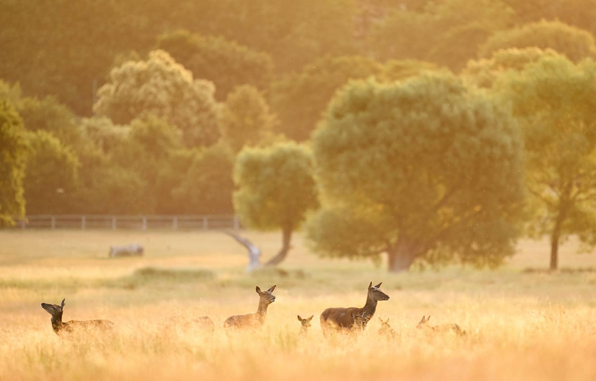 Jeleni u londonskom parku: Ovi fascinantni prizori će se pamtiti