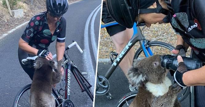 Iscrpljena je koala zaustavila bicikliste i tražila malo vode