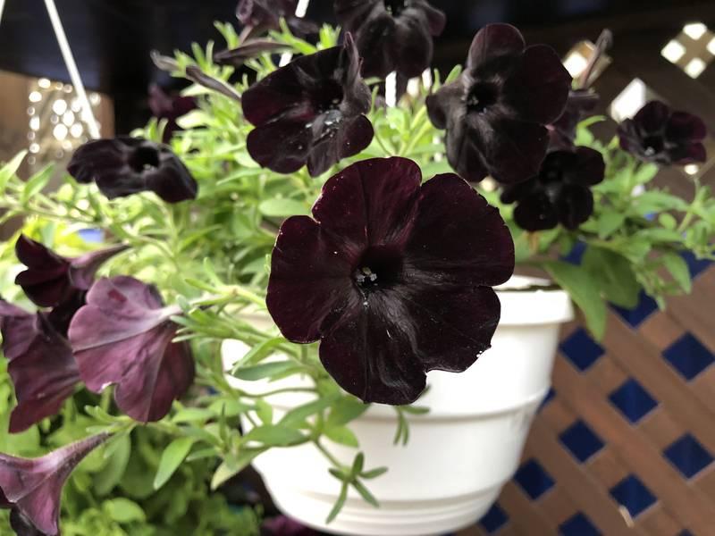 Petunija 'crni velvet': Najcrniji cvijet na svijetu osvaja svakoga