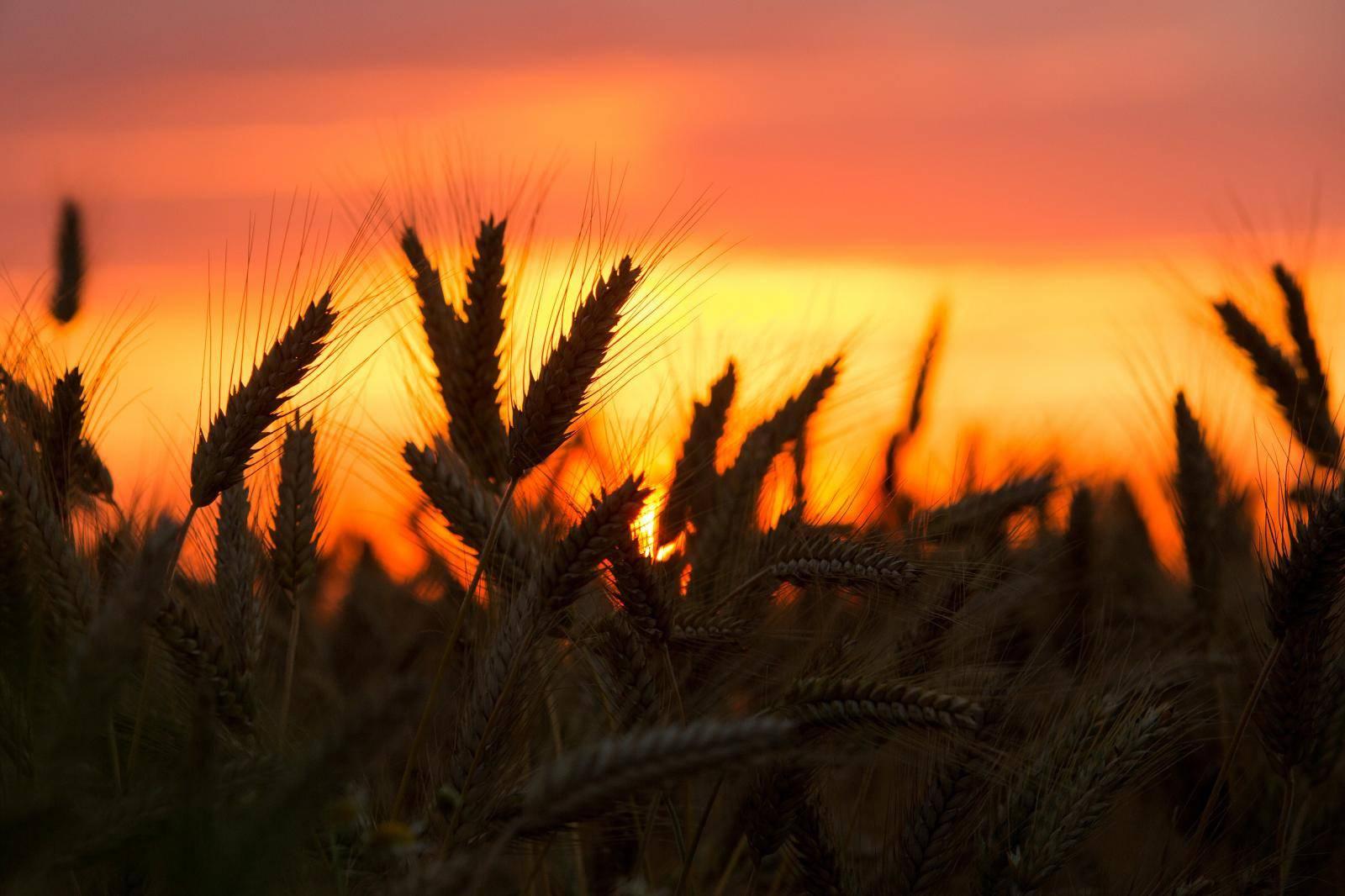 Osijek: Zalazak sunca u slavonskom polju ječma
