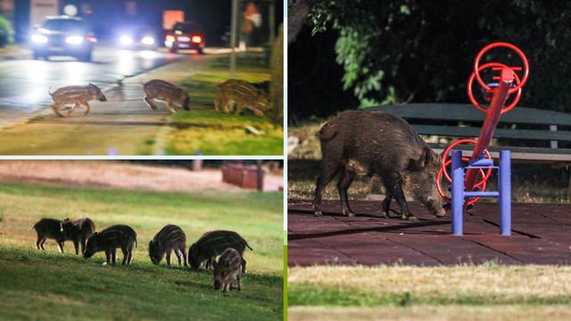 Divlje svinje dolaze svaku večer i traže hranu: Ponašaju se kao da je dječji park samo njihov...