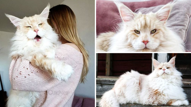 Ova divovska mačka očarala je mnoge: 'Izgleda kao kraljica!'