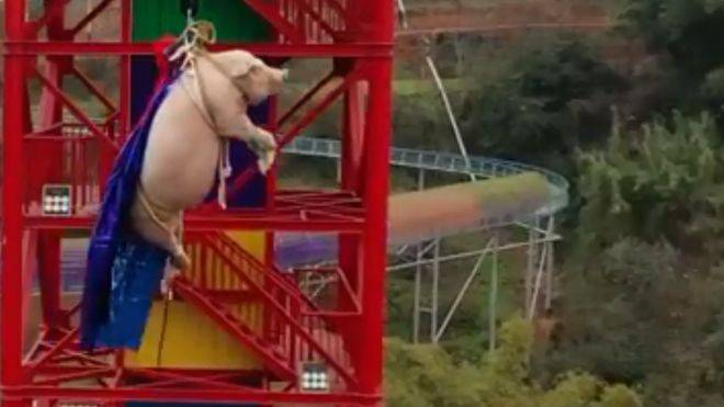 Svinja na bungee jumpingu
