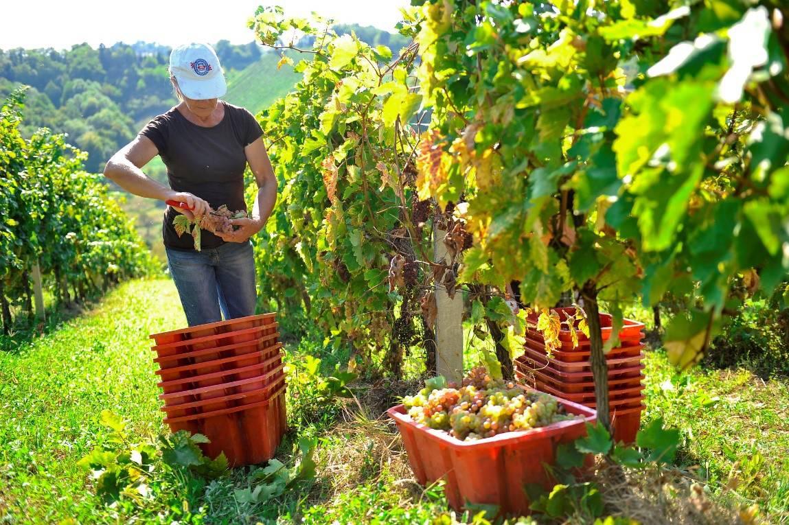 U ožujku novi natječaj za pomoć domaćim vinogradarima