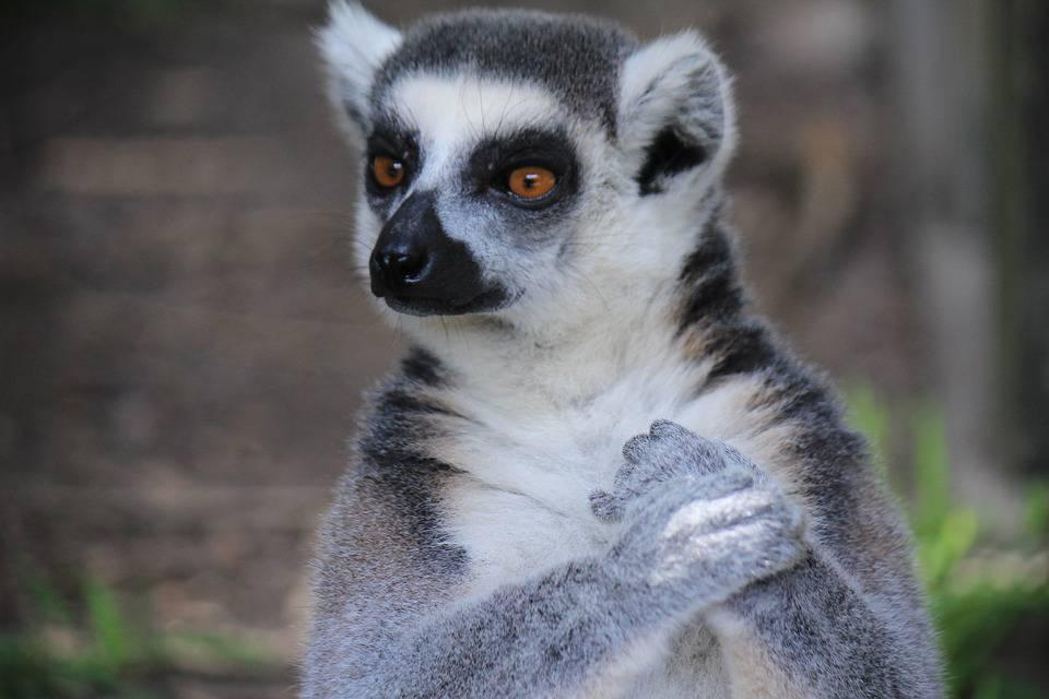Na rubu izumiranja: Lemuri su najugroženiji primati na Zemlji